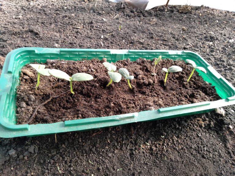 Огурцы: высаживаем в мае в теплицу и на грядки (рассада и семена)