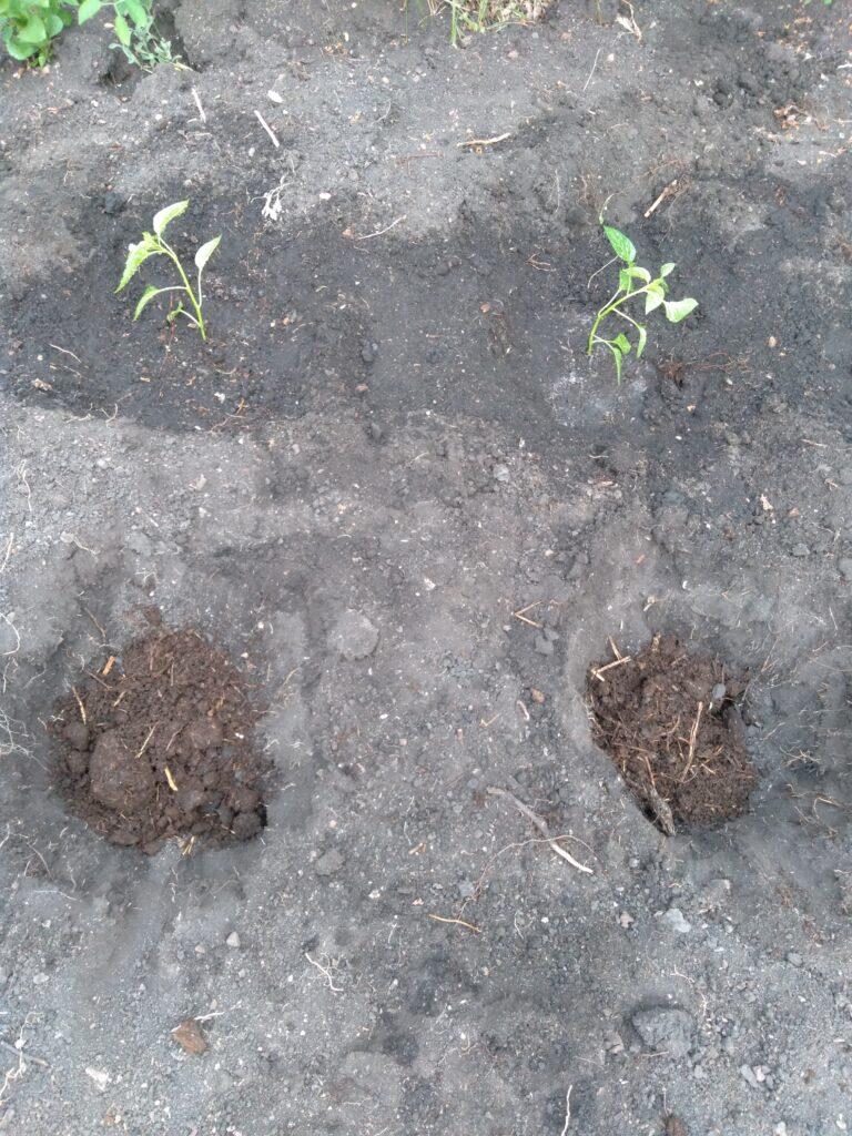 Как высадить рассаду перцев