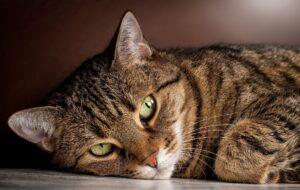 Коронавирус у кошки